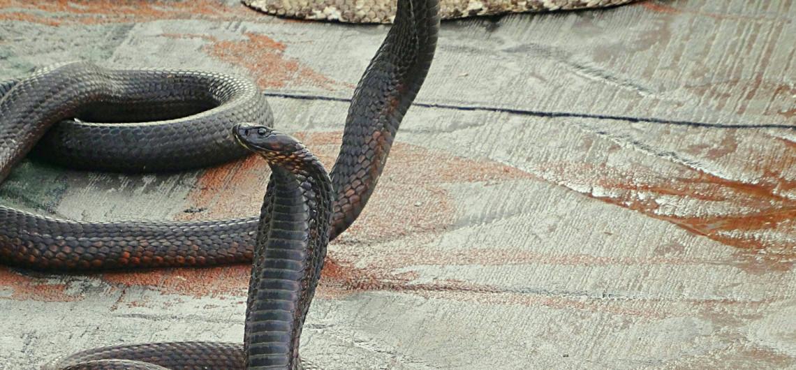 Charmeur de serpents Marrakech