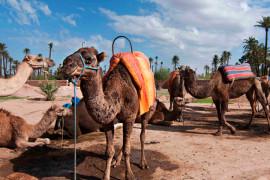 Marrakech  Balade au dos de dromadaire Chameauxdans le jardin de la palmeraie