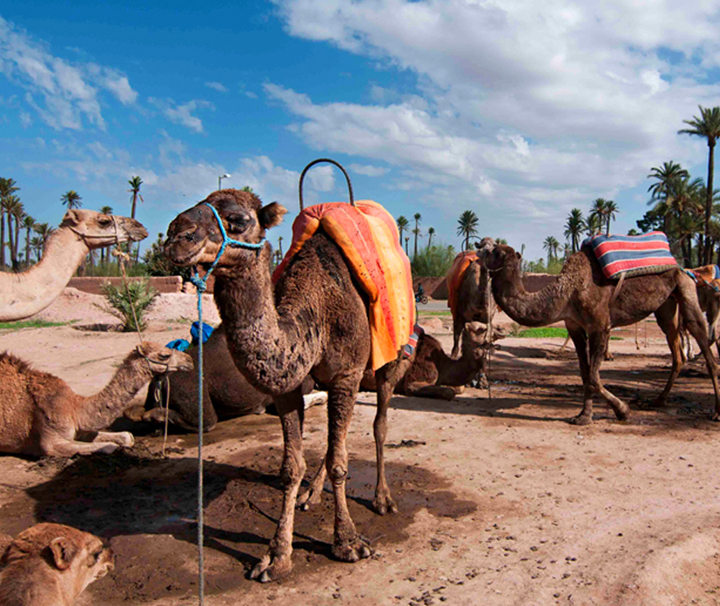 Marrakech camels ride tour-Dromadaries in the palmeraie